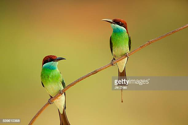 Two Bluethroated beeeaters stay on the branch of a tree in Jiujiang Jiangxi province China on 21th May 2015