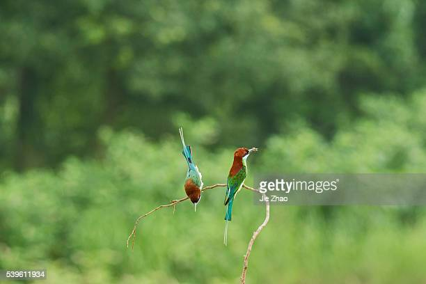 Two Bluethroated beeeaters stays on the branch of a tree in Jiujiang Jiangxi province China on 27th May 2015
