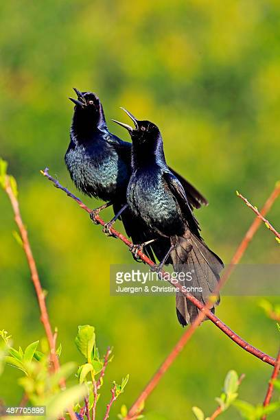 two boat-tailed grackles -quiscalus major-, males, calling, wakodahatchee wetlands, delray beach, florida, usa - songbird stock pictures, royalty-free photos & images