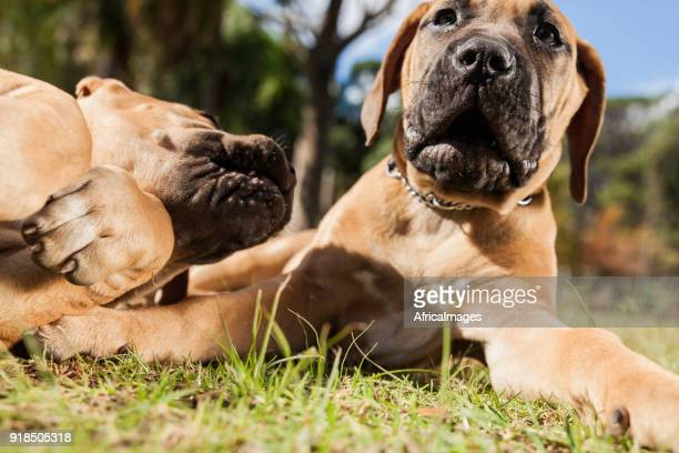 Two boerboel puppies playing on the grass at the park.