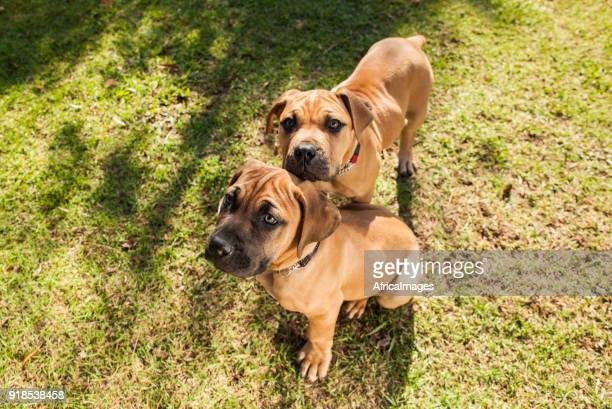 Two Boerboel puppies relaxing together at the park.