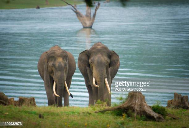 Two Bold Tuskers