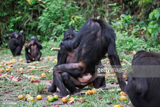 Two bonobos engaged in sexual activity
