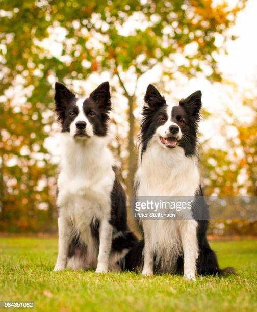 two border collie digs, - two animals stock pictures, royalty-free photos & images