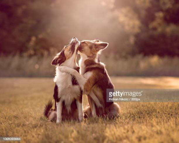 Two Border Collie dogs showing affection