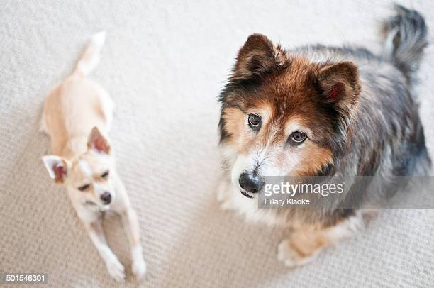 two bored dogs - collie stock photos and pictures