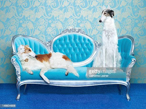 Two Borzoi (canis lupus familiaris) on couch.