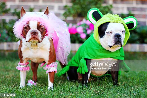 two boston terriers in halloween costumes - animal costume stock pictures, royalty-free photos & images