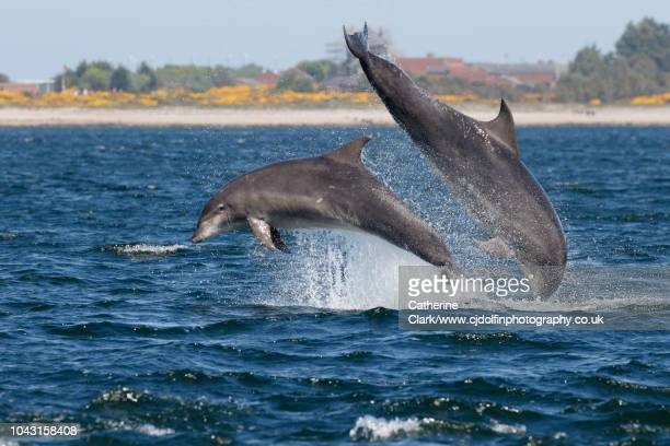 two bottlenose dolphins breaching in the moray firth - モーレイ湾 ストックフォトと画像