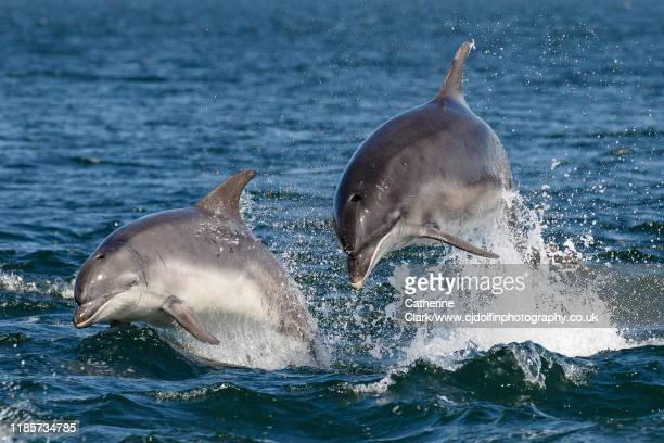 two bottlenose dolphins jumping in the moray firth - dolphin stock pictures, royalty-free photos & images