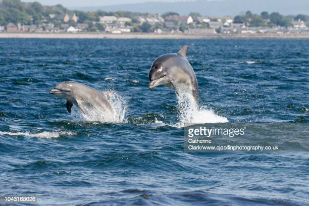 two bottlenose dolphins jumping in the moray firth, scotland - dolphin stock pictures, royalty-free photos & images