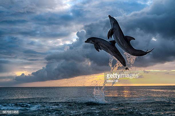 Two bottlenosed dolphins jumping at sunset