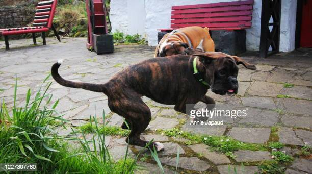 two boxer dogs chasing eacher - two animals stock pictures, royalty-free photos & images