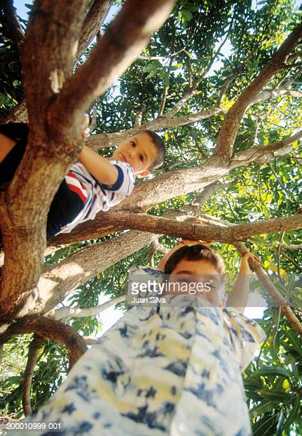 two boys (6-8) in tree, low angle view - のぼり ストックフォトと画像