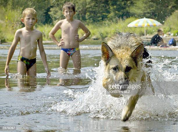 Two boys look at a German shepherd dog running into the direction of the photographer in the Ruhr river near Schwerte 06 August 2003 With Germany...