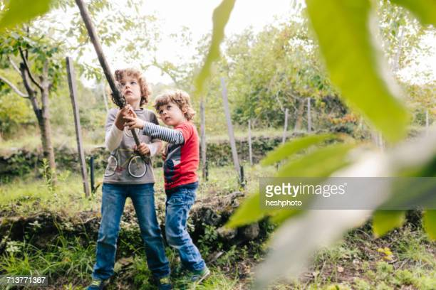 two boys poking chestnut tree with pole in vineyard woods - heshphoto stockfoto's en -beelden