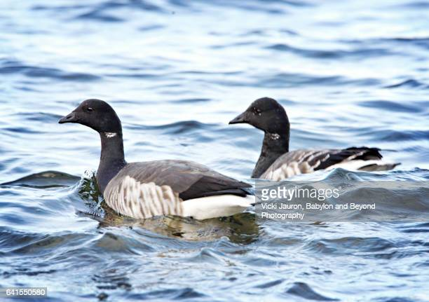 two brant geese (branta bernicla)in icy blue water at caumsett state park - huntington suffolk county new york state stock pictures, royalty-free photos & images