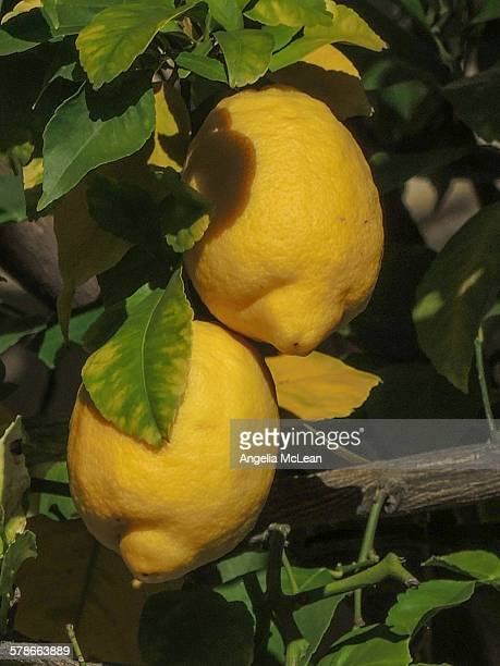 two bright yellow lemons hanging on lemon tree - lemon leaf stock photos and pictures