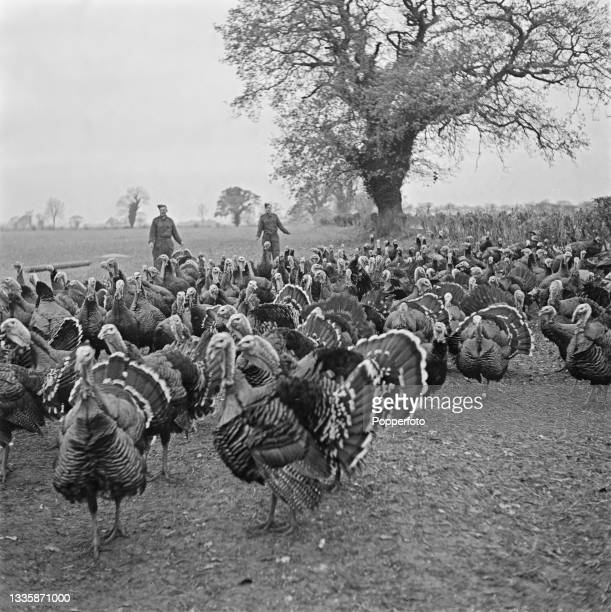 Two British Army soldiers help to round up a flock of Bronze turkeys being fattened ready for Christmas at Hill Farm in Great Holkham, Norfolk,...