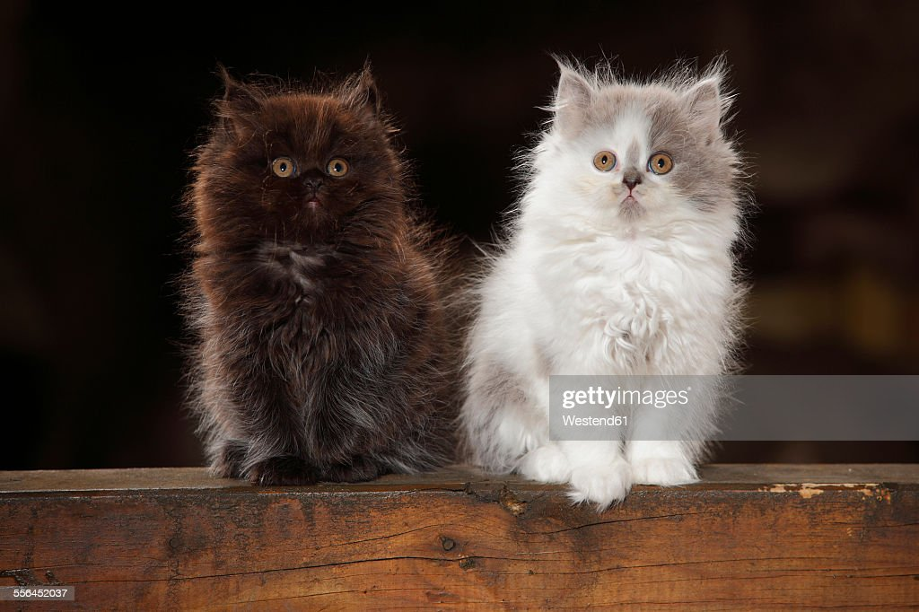 Two British Longhair kittens sitting on wooden beam