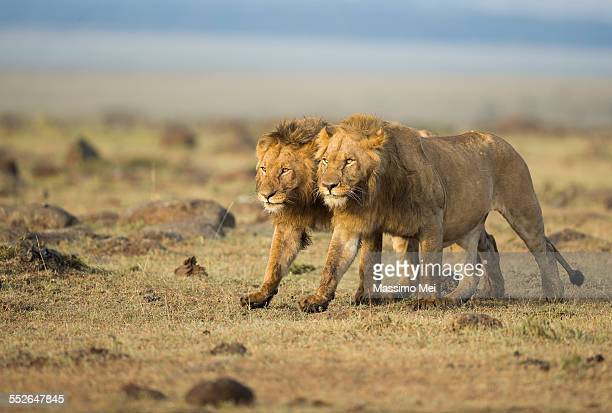 two brothers - lion stockfoto's en -beelden