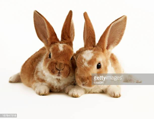 Two brown and white baby rabbits