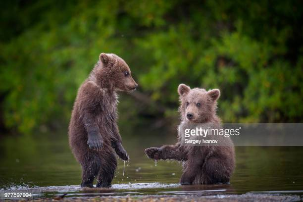 two brown bear cubs in river, kamchatka krai, russia - young animal stock pictures, royalty-free photos & images