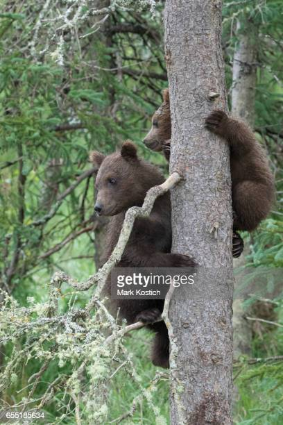 Two Brown Bear Cubs in Tree