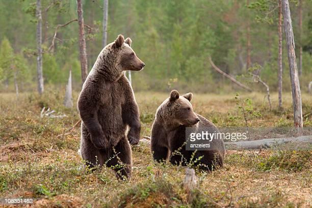 deux ours brun - ours photos et images de collection