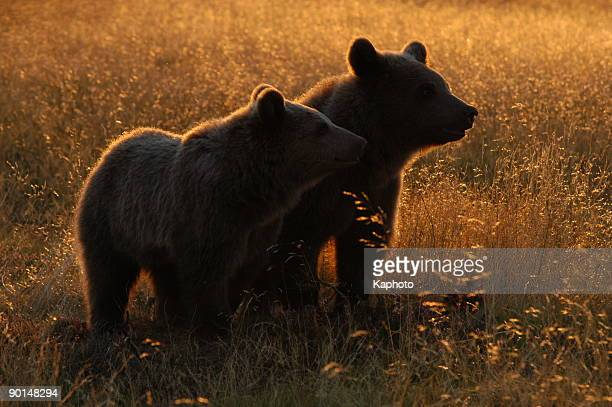two brown bears standing next to each other - female animal stock pictures, royalty-free photos & images