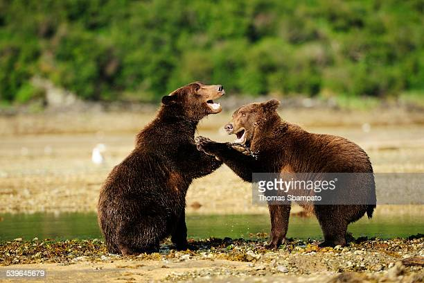 two brown bears -ursus arctos- play-fighting with each other, katmai national park, alaska - animal mouth stock pictures, royalty-free photos & images