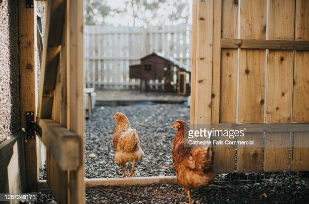 two brown chickens walking towards their coop - animal limb stock pictures, royalty-free photos & images