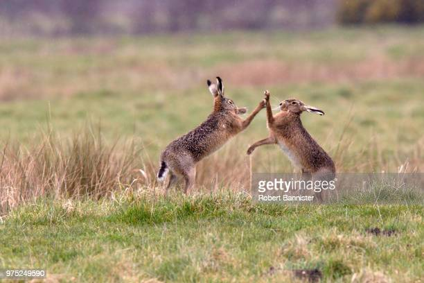 Two brown hares boxing.