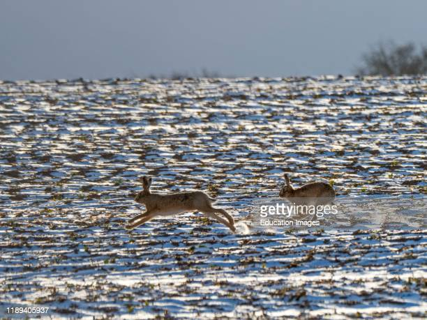 Two Brown Hares Lepus europeaus chase each other across a snow covered field in winter sunshine Holkham North Norfolk UK