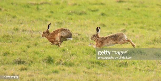 two brown hares racing - lepre comune foto e immagini stock