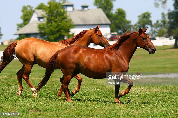 Two brown horses running through a pasture