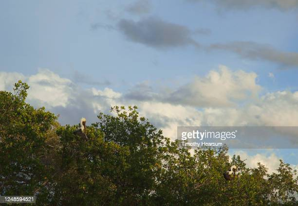 two brown pelicans perch in the tree tops with clouds and blue sky above - timothy hearsum stock pictures, royalty-free photos & images