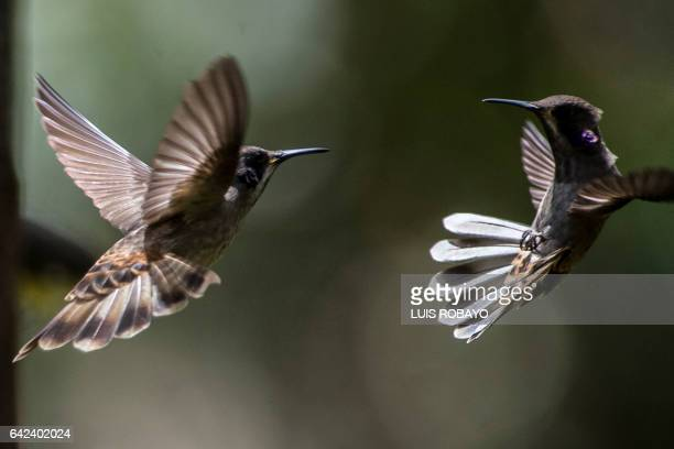 Two brown violetear hummingbirds are photographed at the 'Alejandria Farm' during bird watching in the framework of Colombia's BirdFair 2017 in a...
