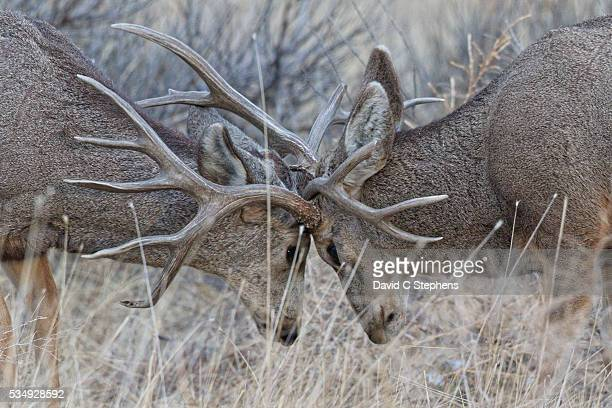 two bucks lock anlters - mule deer stock photos and pictures