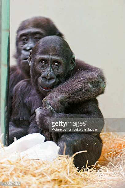 gorilla my love critical anaysis Gorilla, my love portrays poverty the story is further critical of the phenomenon that american dream anthropological analysis apple-foxconn apple inc.