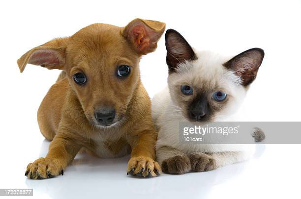 two buddies - siamese cat stock pictures, royalty-free photos & images