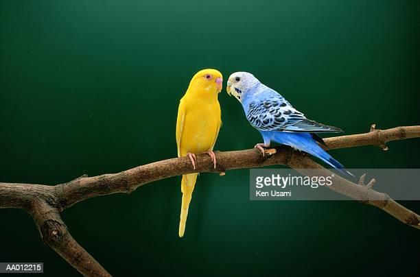 Two budgerigars (Melopsittacus undulatus) perching on branch