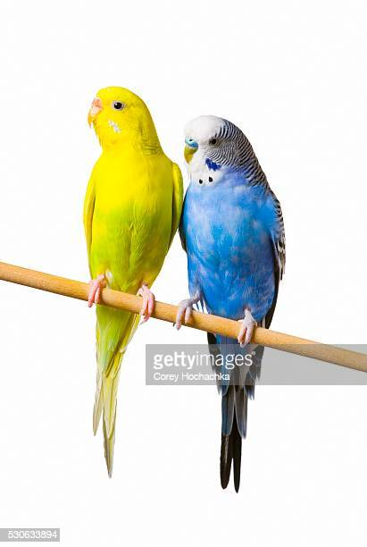 Two Budgerigars Perching