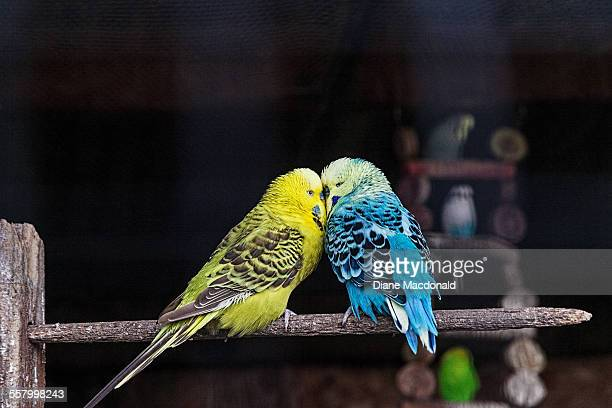 two budgerigars - parakeet stock photos and pictures