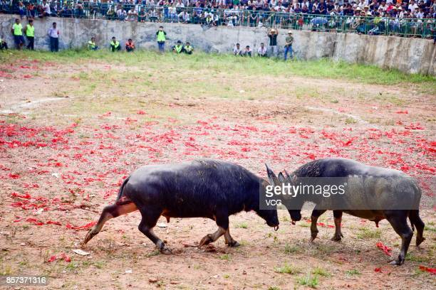 Two buffaloes compete in a fight at Datang Village on October 3 2017 in Qiandongnan Miao and Dong Autonomous Prefecture Guizhou Province of China 28...