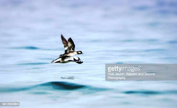 two buffleheads (bucephala albeola)in flight at caumsett state park - huntington suffolk county new york state stock pictures, royalty-free photos & images