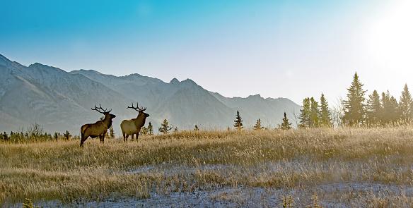 Two bull elk in Banff National Park 923091862