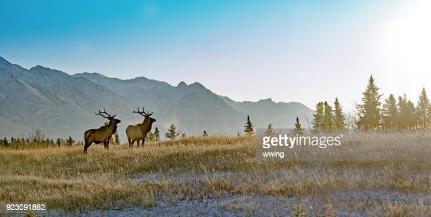 two bull elk in banff national park - canada stock pictures, royalty-free photos & images