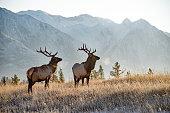 Two bull elk in Banff