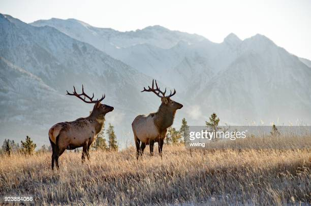 twee stier elanden in banff - canadian rockies stockfoto's en -beelden